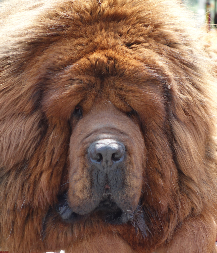 Tibetan Mastiffs are genetically programmed to thrive in high-altitude, low-oxygen environments like the Tibetan Plateau.