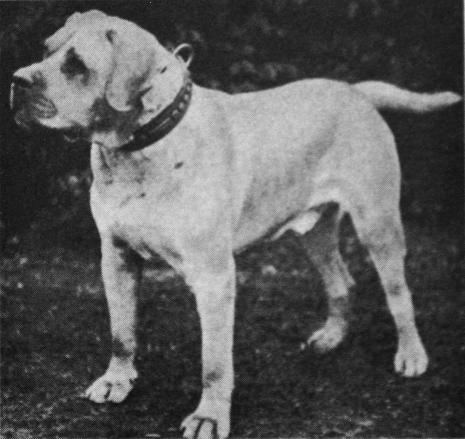 Ch. Farcroft Felons Frayeur, sire of one of the first Rockefeller dogs, Ragger.
