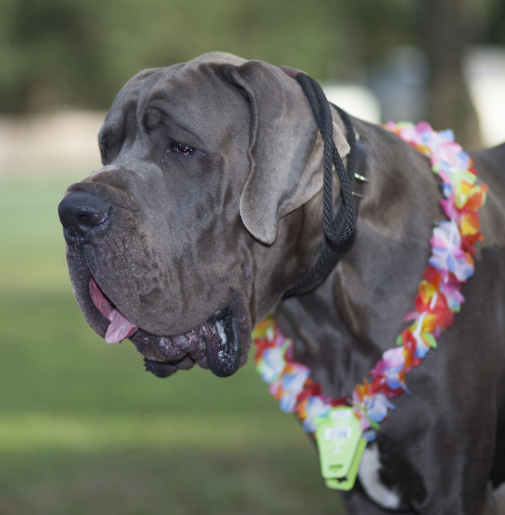 "Great Danes that have a strong Molosser aspect are being marketed as ""Euro Danes."" In this case, the resemblance to a Neapolitan Mastiff is hard to miss."