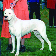 "A female Dogo showing perfectly acceptable pigment of the skin, which is ""shining through,"" as both the FCI and FCA standards describe it."