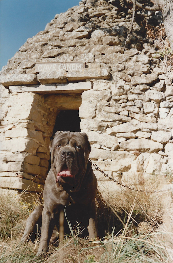 Ch. D'Annunzio de Néropolis, 18-month-old male. Breeders and owners: M. et Mme. Beck. Photo: J.P. Beck. Courtesy of The Official Book of the Neapolitan Mastiff.