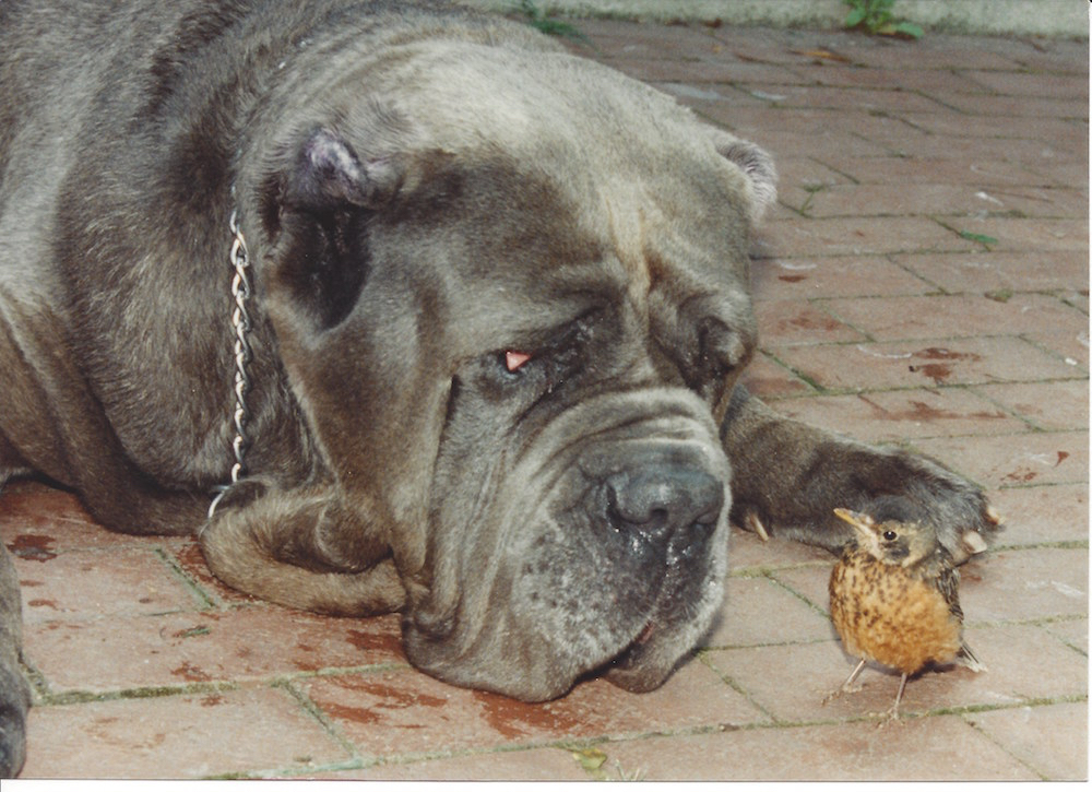 Islero del Bonrampino with his robin buddy. Photo: S. Allen. Courtesy of The Official Book of the Neapolitan Mastiff.