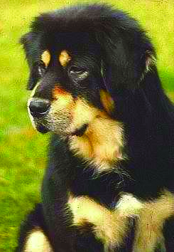 """Above and below: """"Major"""" (Althan de la Tour Chandos) and """"Kaya"""" (Delviento Tham-Che), the foundation pairing for Chortens Tibetan Mastiffs in the U.K."""