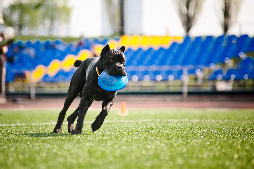 Though it is a true Molosser, the Cane Corso needs to be athletic in order to do the jobs it was bred to do, from hunting to droving livestock.