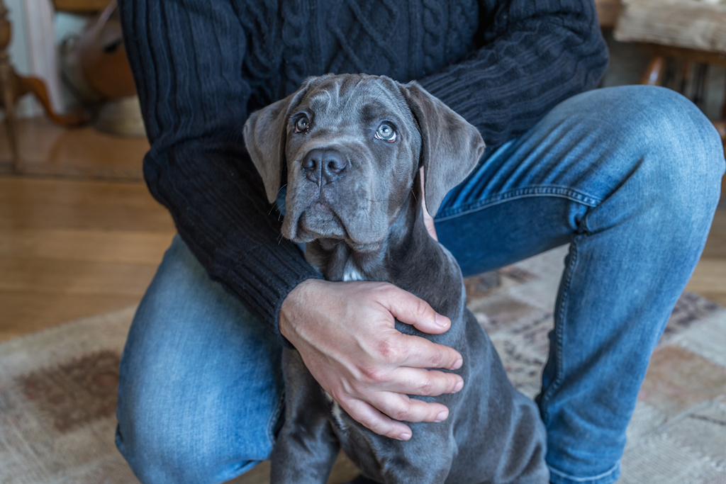 A Cane Corso is attuned to his owner's boundaries and physical space.
