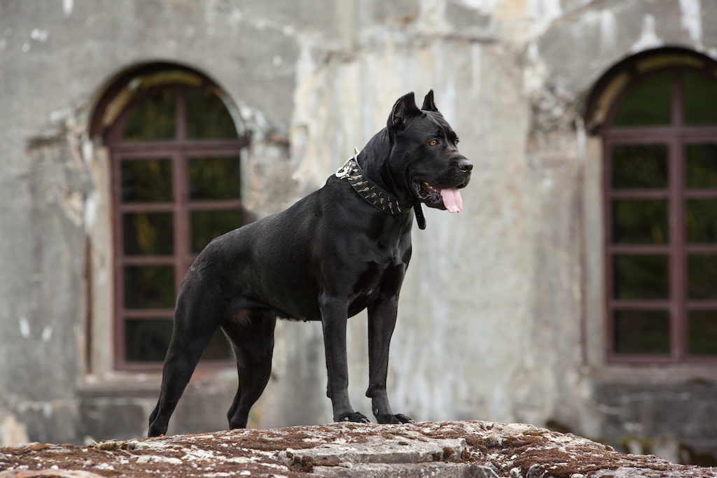 The Cane Corso's temperament has been forged over centuries.