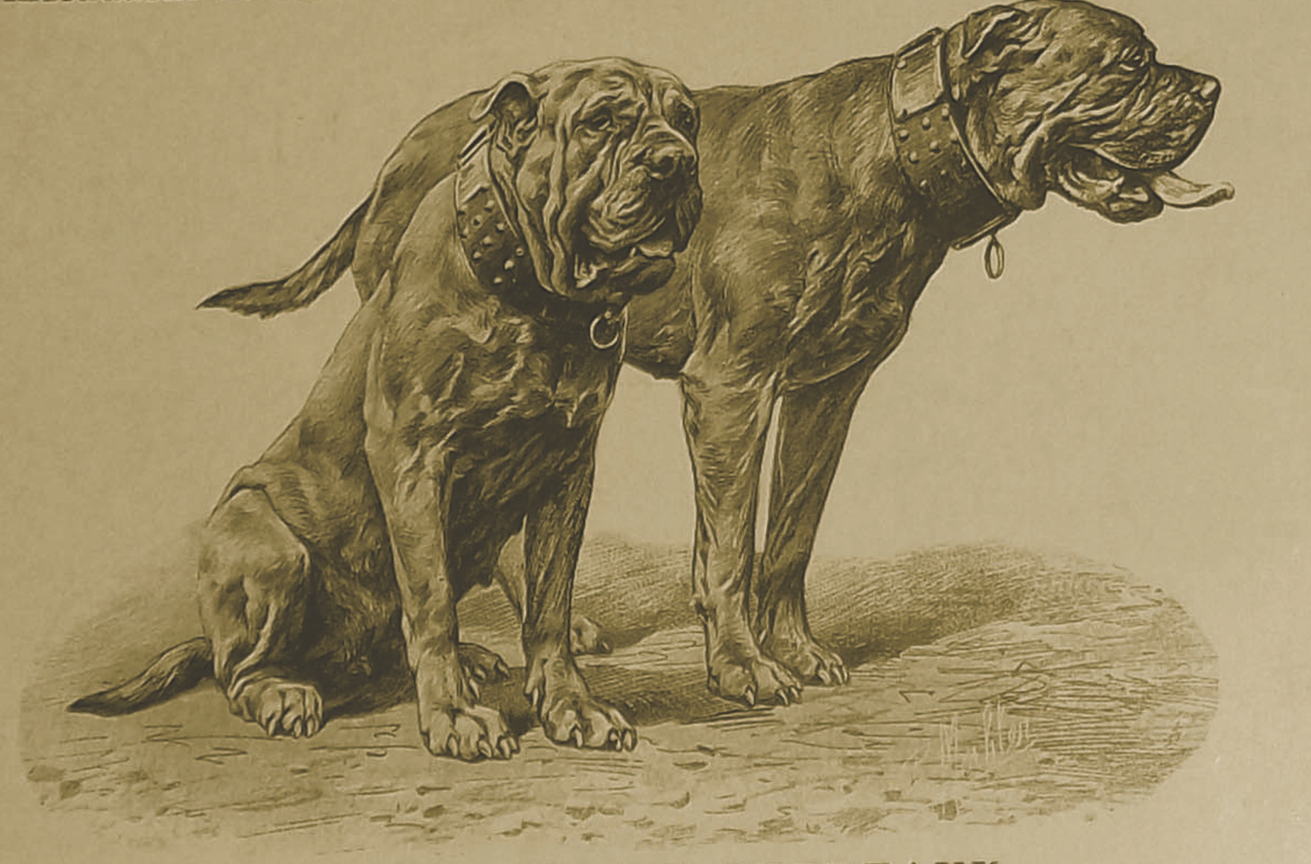"Sultane and Buffalo: ""Neither Mastiffs nor Bulldogs …"""
