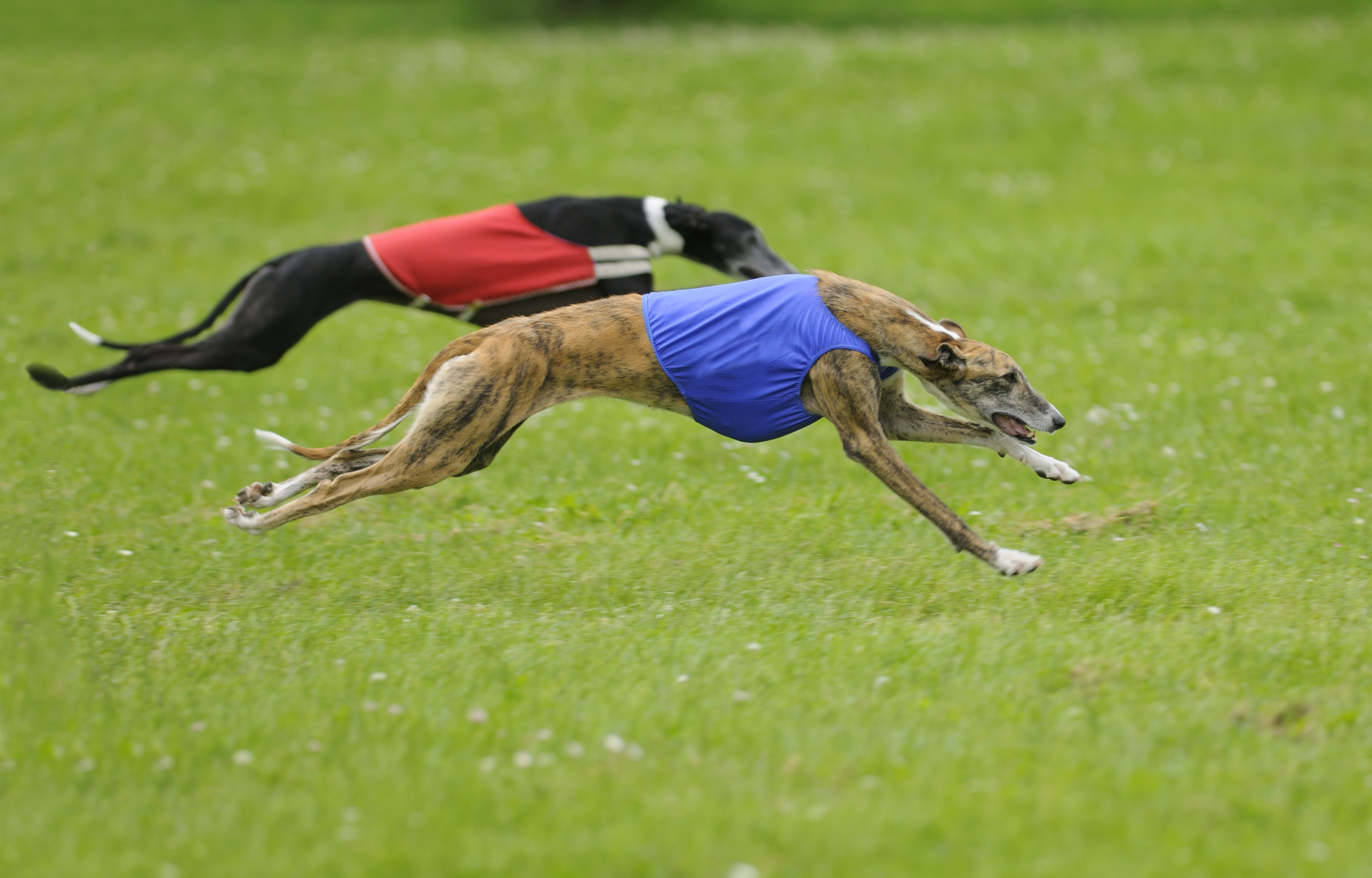 Lure-coursing is a sport created for Sighthounds, like these Greyhounds (above), to simulate a rabbit hunt. Today, all breeds can try a modified version of this sport with the CAT, or Coursing Ability Test (below).