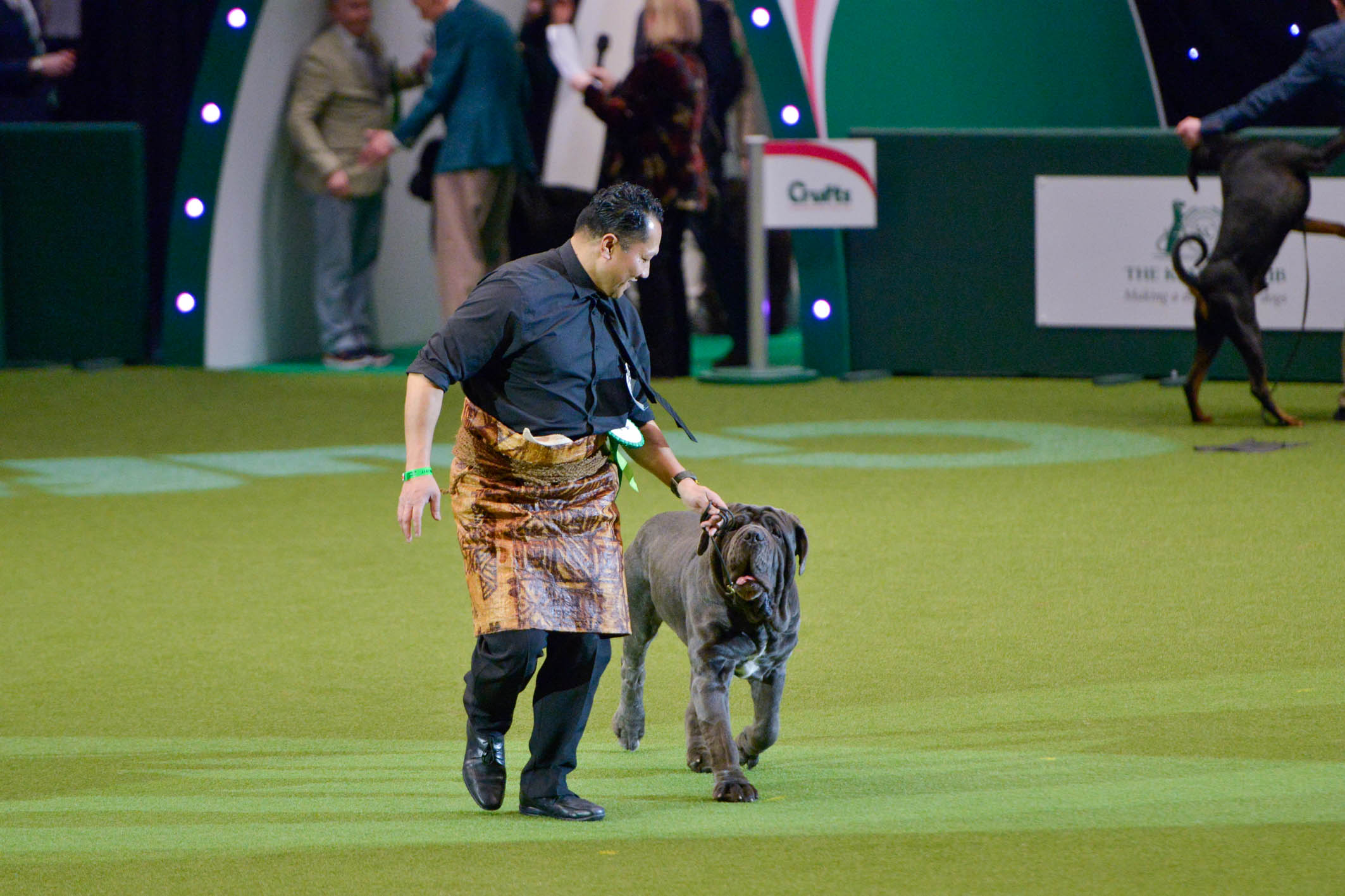 """Mateaki Mafi showing Freddo dei Mastini della Rupe in the Working Group at Crufts. He is wearing a Ta'ovala, a skirt worn in his native Tonga during special occasions, comparable to a suit and tie. In a stroke of cultural insensitivity, Crufts commentator Jesscai Holm called it a """"slobber cloth"""" during the live telecast of the show."""