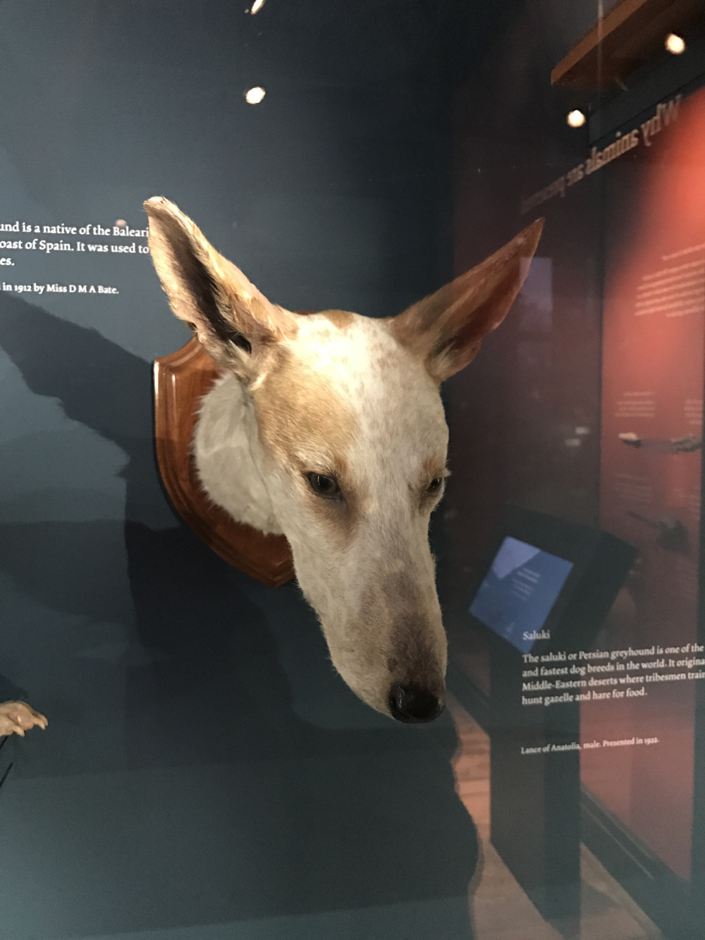 Taxidermied Ibizan-hound head at Tring.