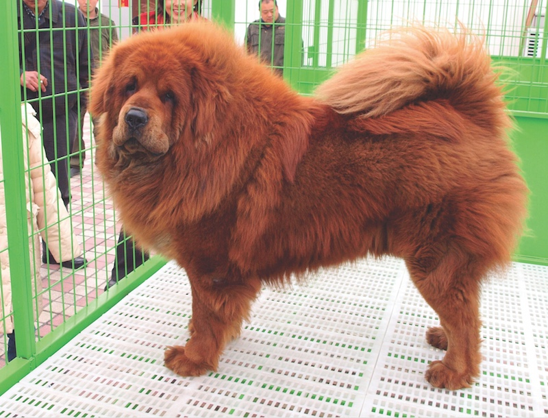 The Tibetan Mastiff is being bred in China to fully embrace its Molosser roots, as this modern dog illustrates.