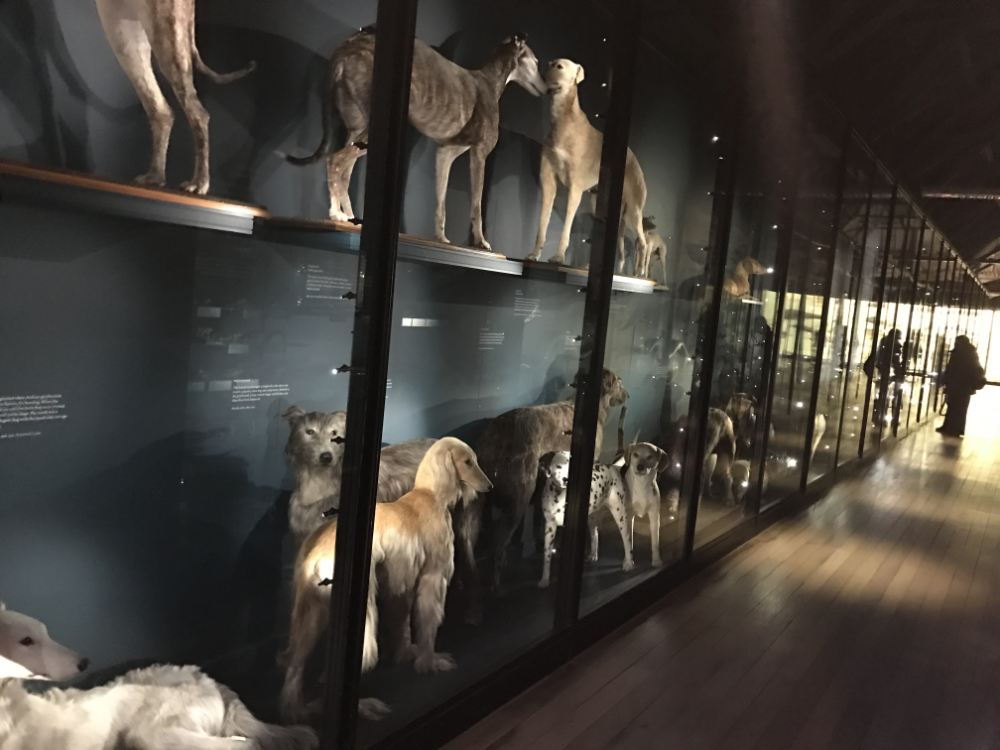 The dog gallery at Tring. Sighthounds are displayed first, followed by Working and Sporting dogs, including Molossers.