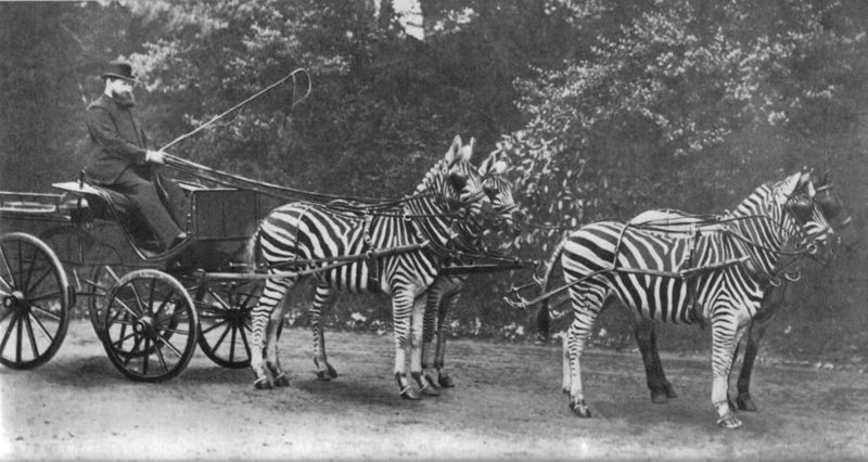 Walter Rothschild driving his carriage led by zebras.